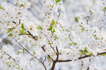 Fondo del fiore di sakura della primavera dei fiori bianchi e rosa con bello bokeh Archivio Fotografico - 94501405