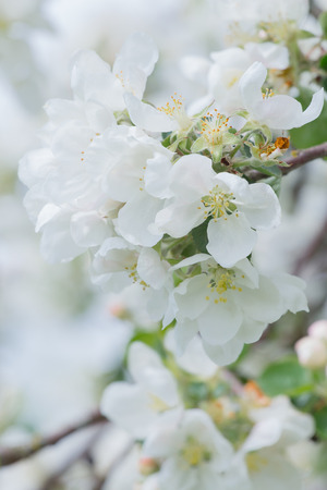 Amazing spring blossom of white apple tree branch outdoors