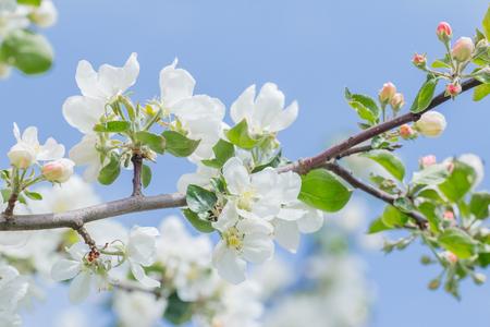 Ramo di albero convenzionale del giardino nella fioritura della molla piena al fondo del cielo blu all'aperto Archivio Fotografico - 94456696