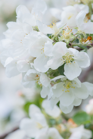 Sweet spring blossom of white apple tree branch outdoors