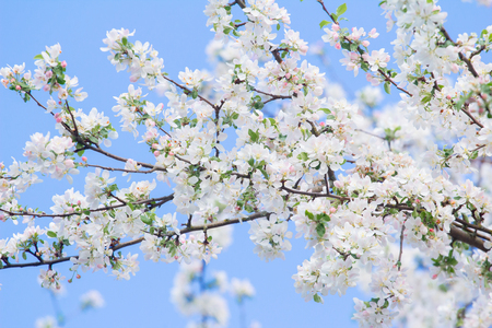 Natural spring background of white and pink apple tree branch in full bloom outdoors