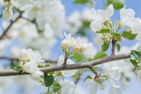 Fruit tree white buds and flowers on spring branch at blue sky background outdoors