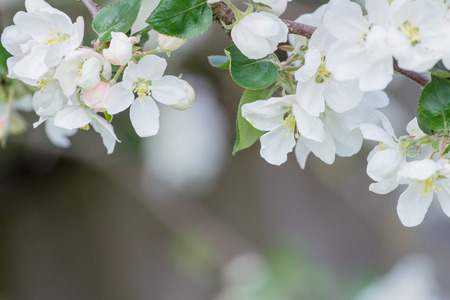 Soft flowers and buds of apple tree with beautiful bokeh in spring Archivio Fotografico