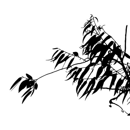 black branch: Eucalyptus tree silhouette