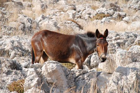 halki: A brown mule grazing on the rocky hillside at Emborio on the greek island of Halki. Stock Photo