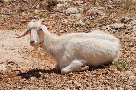 halki: A white horned goat laying in a field at Kania on the greek island of Halki. Stock Photo