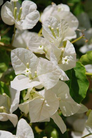 halki: Delicate white flowers on a plant at Emborio on the Greek island of Halki. Stock Photo