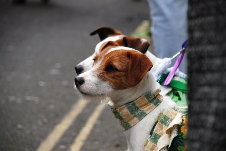 Two Jack Russell terrier dogs wearing neck scarfs wait at the road side. photo