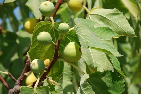 feuille de vigne: Figues vertes qui poussent sur un figuier sur l'île grecque de Meganissi.