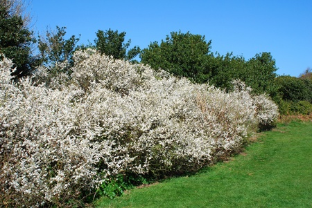 Una fioritura siepe Hawthorne in primavera presso il Country Park Hill East a Hastings nell'East Sussex, in Inghilterra.