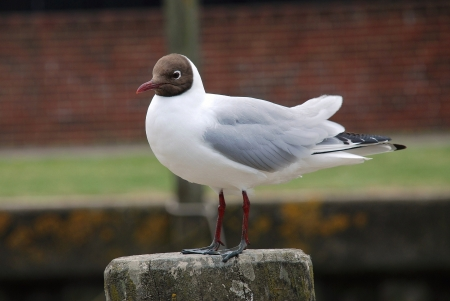 A black-headed gull (Chroicocephalus Ridibundus) perches on a wooden post at Rye harbour in East Sussex, England.  photo