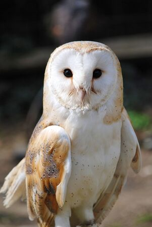 A Common Barn Owl (Tyto Alba) photo