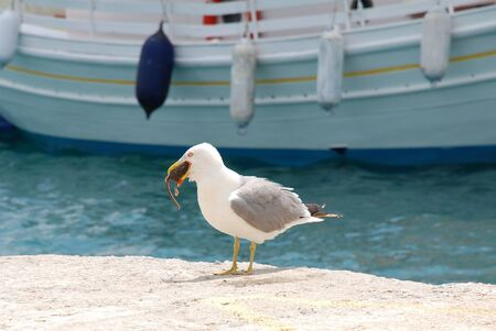 swallowing: A seagull swallowing a rat on the quay at Skiathos Town harbour on the Greek island of Skiathos