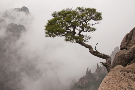 Pine Tree,Mountain Huangshan, National Park,, Anhui Province,Natural Heritage ,China photo