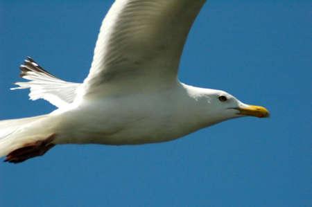 Seagull in flight Фото со стока