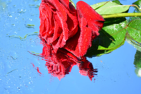 A beautiful rose reflected in pure water