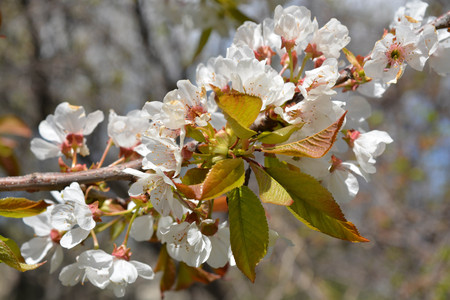 Tree flowers, nature, blue sky, clouds, spring Stock Photo