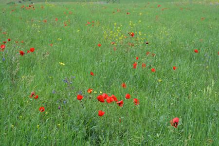 Wild tulip field, natural background, red flowers, summer