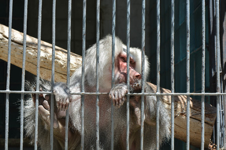 A monkey in cage Stock Photo