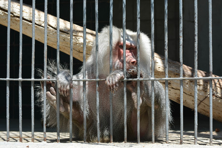 trapped: A monkey in cage Stock Photo