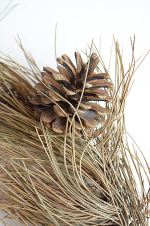 no way out: Pine cone