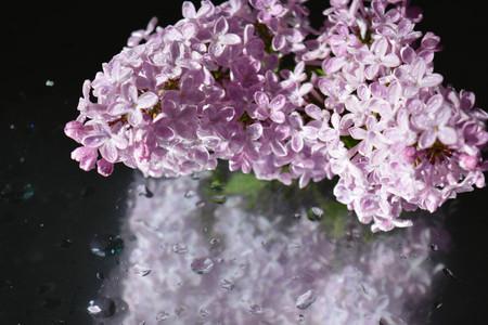 lavender coloured: Beautiful lilacs Stock Photo