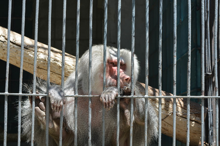 black appliances: A monkey in cage Stock Photo