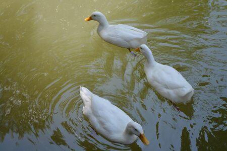 Mallands, ducks