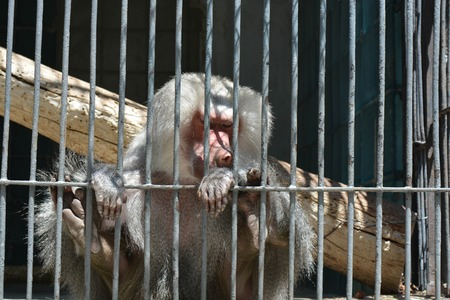 couching: A monkey in cage Stock Photo