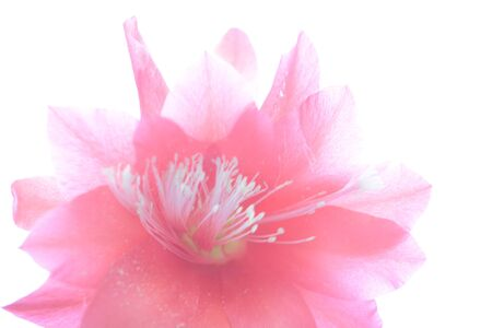 Red cactus flower isolated on white background, nature
