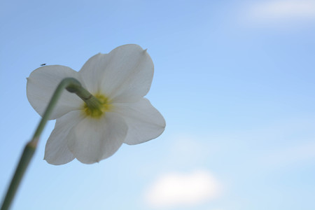 br: Beautiful flowers on sky background, narcissus, nature, green leaves