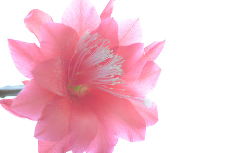 christmas cactus: Red cactus flower isolated on white background, nature