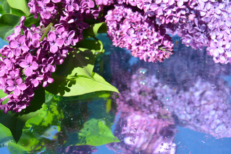 Beautiful lilacs reflected in water Stock Photo