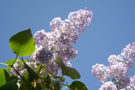 Lilac flowers, Spring blooming