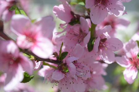 Flowers on a peach branch in a fruit garden Stock Photo