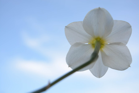 Beautiful flowers on sky background, narcissus, nature, green le