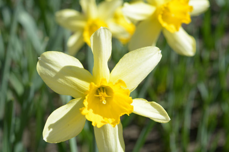 Beautiful flowers on green background, yellow narcissus, nature