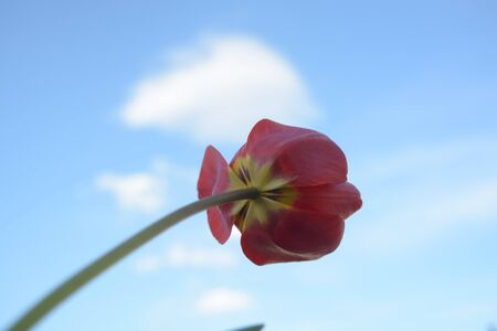 Beautiful flowers on sky background, red tulip, nature, green le