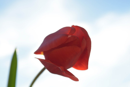 le: Beautiful flowers on sky background, red tulip, nature, green le