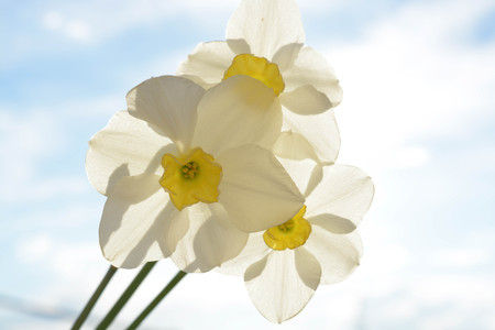 le: Beautiful flowers on sky background, narcissus, nature, green le