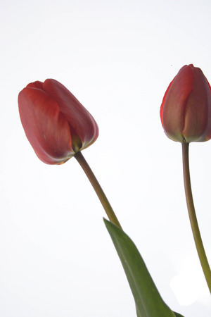 brigh: Red tulips isolated on white background, leaves, nature