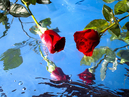 Beautiful roses on water background, reflection, nature, pure