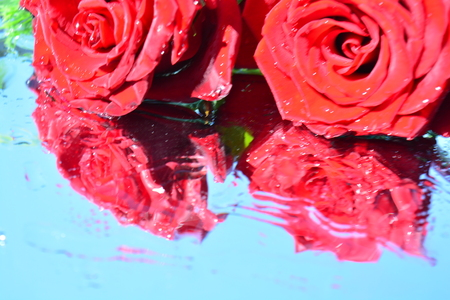fragility: A beautiful rose reflected in pure water