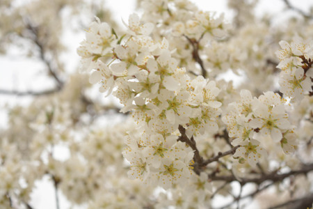 Trees white flowers, spring, apricot, plums, sky