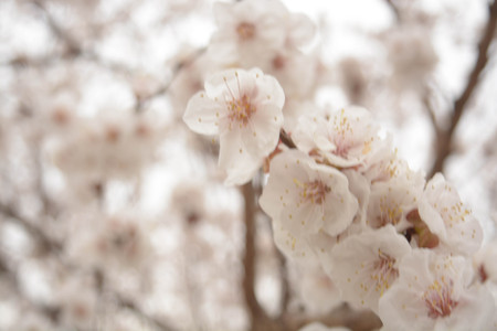 japanese apricot flower: Trees white flowers, spring, apricot, plums, sky