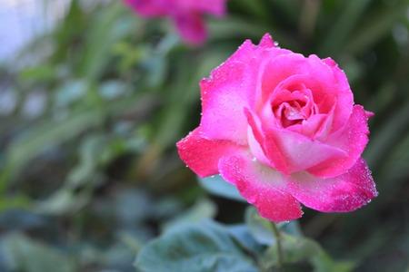 A beautiful rose Imagens