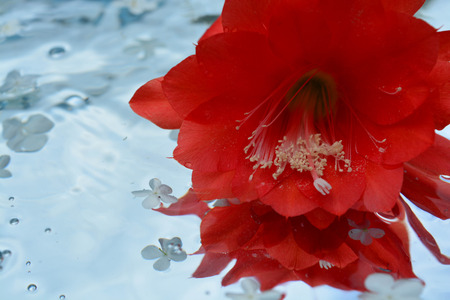 Beautiful cactus flower reflected in pure water