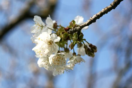 Close-up of the blooming cherry-tree branch. Spring concept. Stock Photo