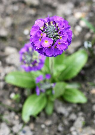 Beautiful violet paigle flower (primula), focus on petals with blurry background. Blooming spring concept.