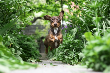 dog nose: Little Dachshund puppy running in the garden